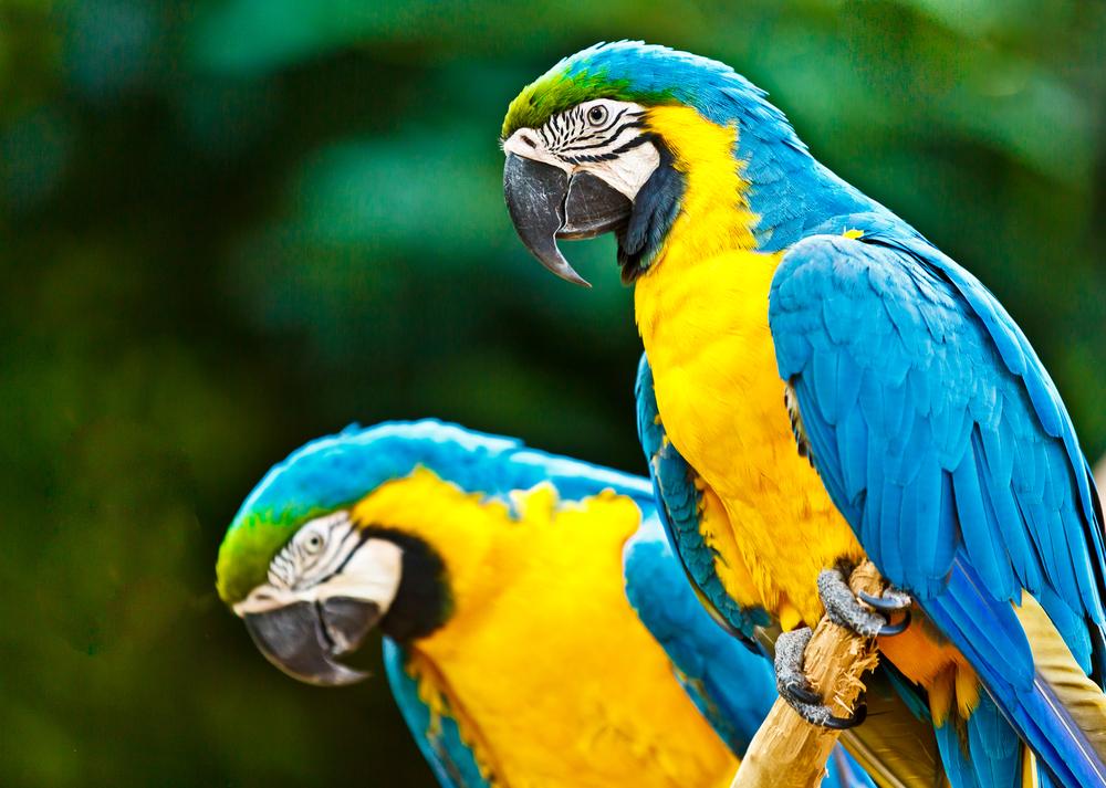 Parrots Rio.jpg
