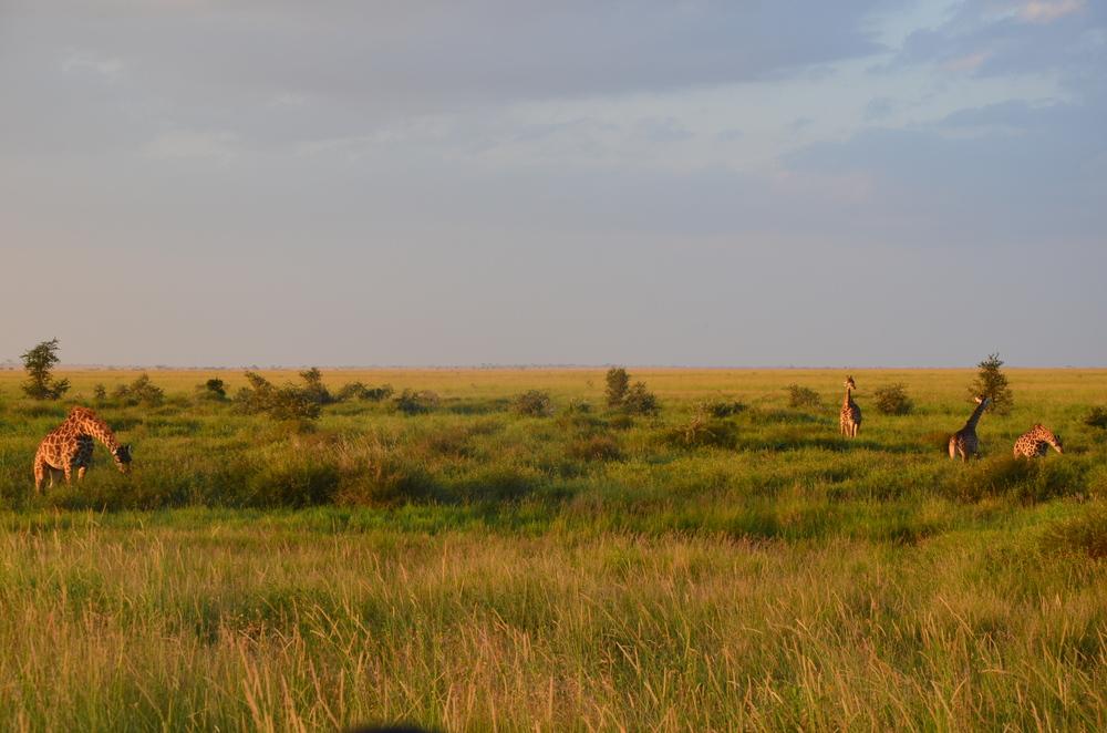 GiraffeSundowner.JPG