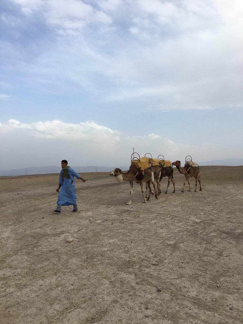 Camels HV Morocco.jpg