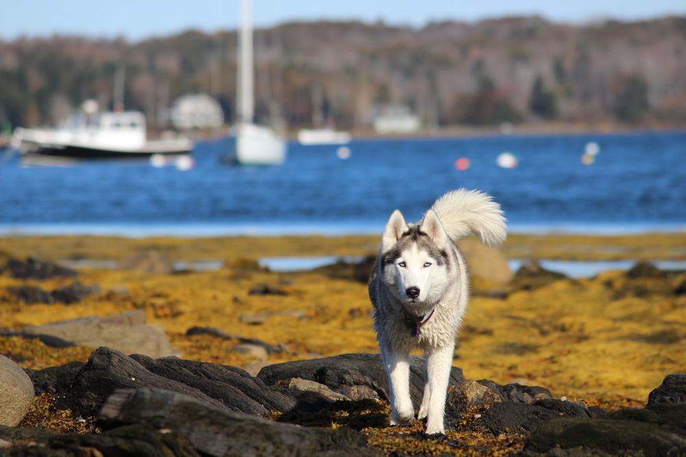 Husky Beachcomer