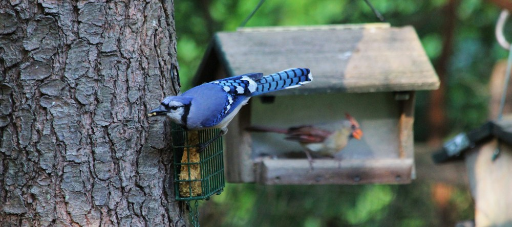 16 Blue Jay and Cardinal.jpg