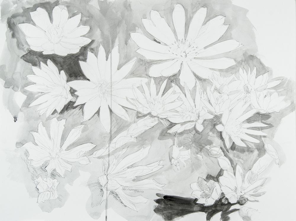 Several Lewisia (#898)