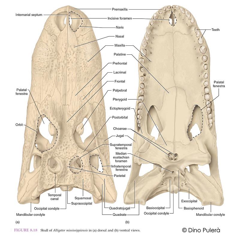 Alligator skull.jpg