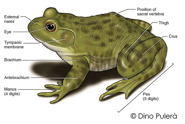 frog external anatomy.jpg