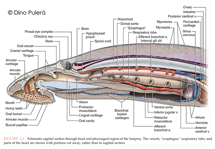 lamprey anatomy_2.jpg