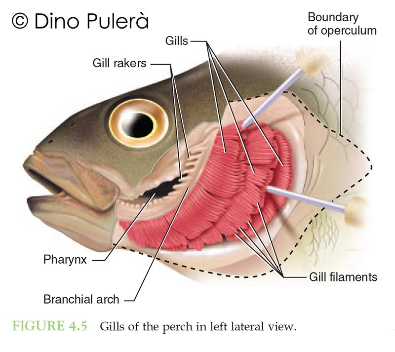 perch gills.jpg