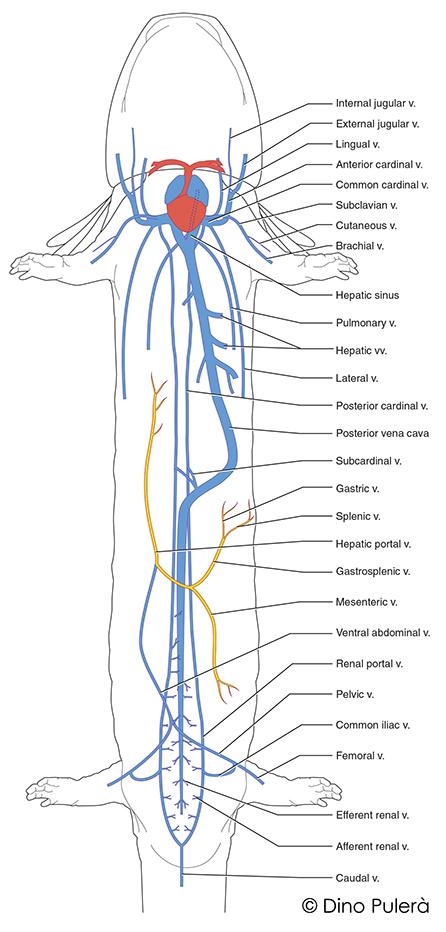 Mudpuppy external anatomy