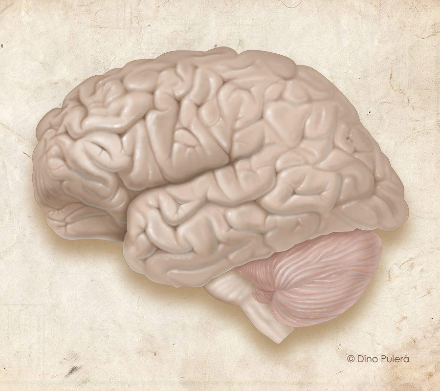 brain-left lateral.jpg