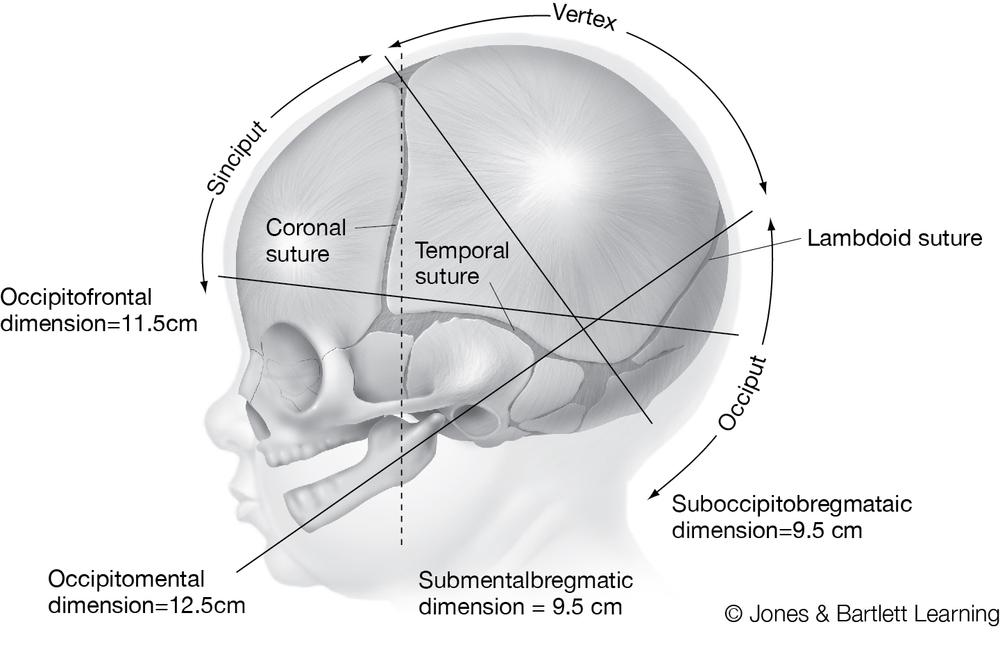 fetal skull.jpg