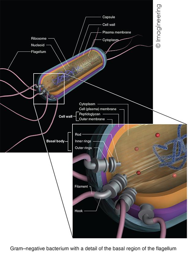 Gram-negative bacterium.jpg