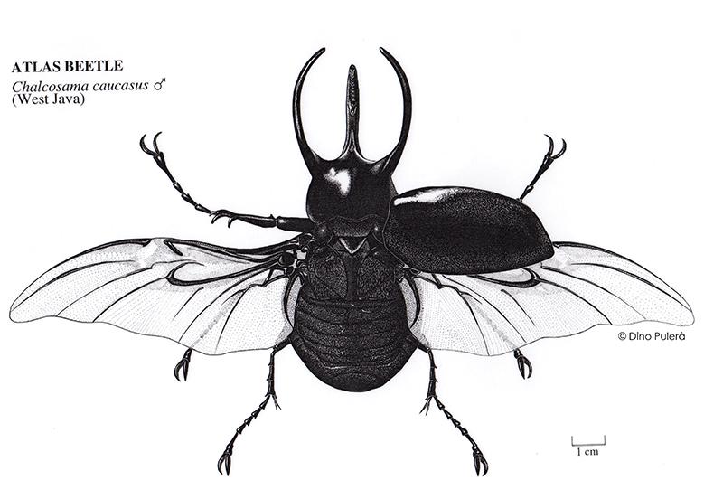 Atlas beetle_web.jpg