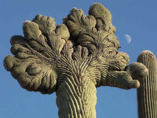 The unrestrained clumping on a cactus, called fasciation, is a cancer like phenomenon.