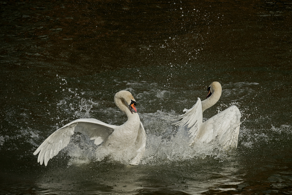 sam_hobson_swan_fight.jpg