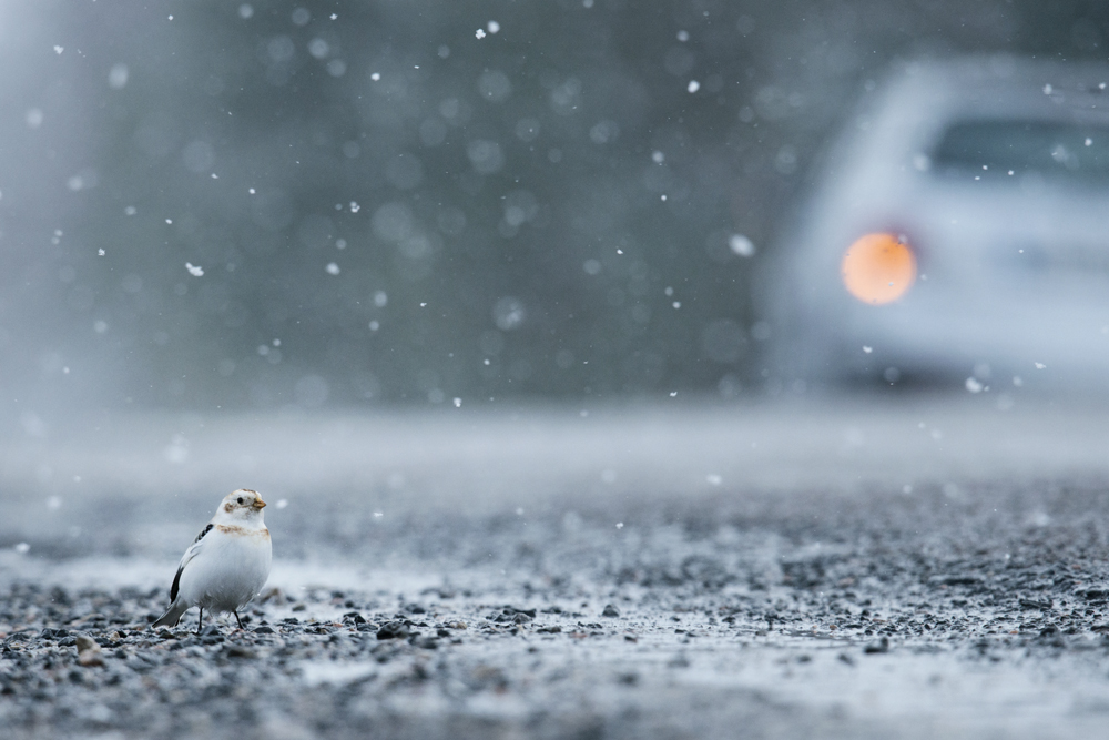 sam_hobson_snowbunting_2.jpg