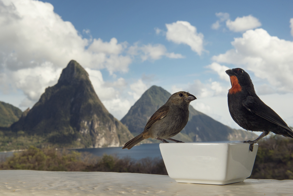 A pair of Lesser Antillean Bullfinches on my balcony with a view of the Pitons and Soufrière bay behind them.