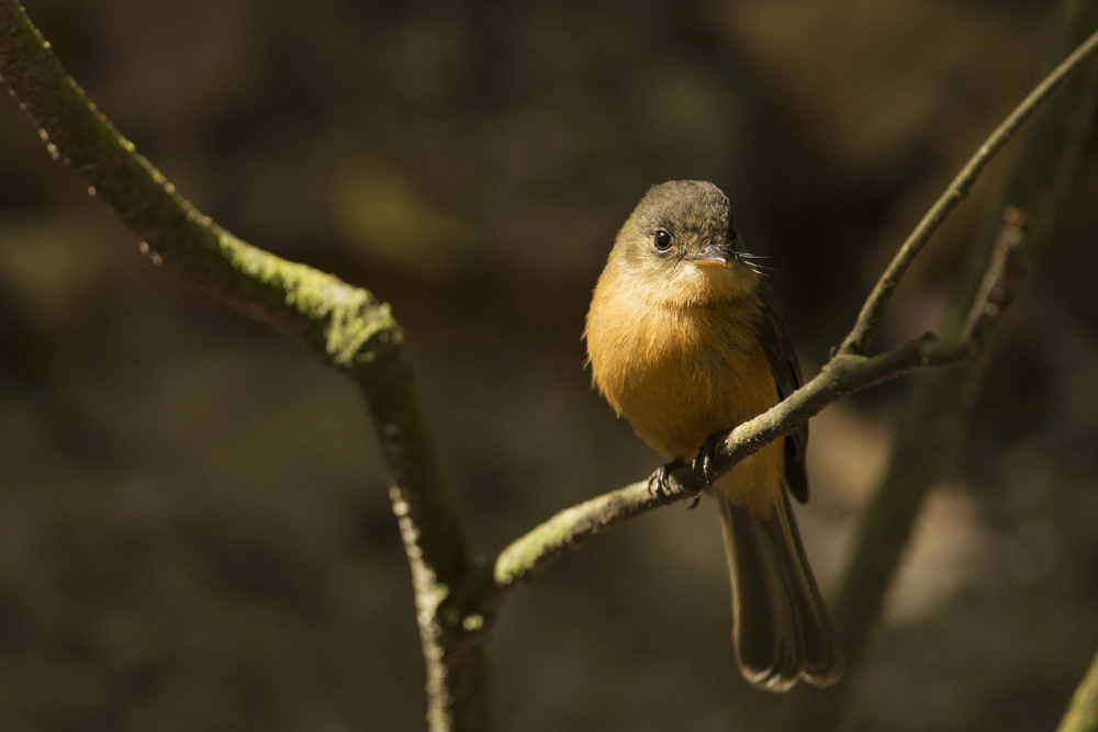 Endemic Saint Lucia pewee - a lovely, confiding little flycatcher.