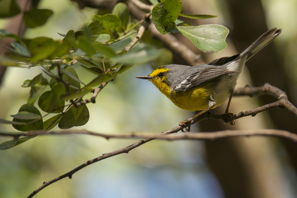 Endemic Saint Lucia warbler, making short work of the tiny insects in the tree-tops.