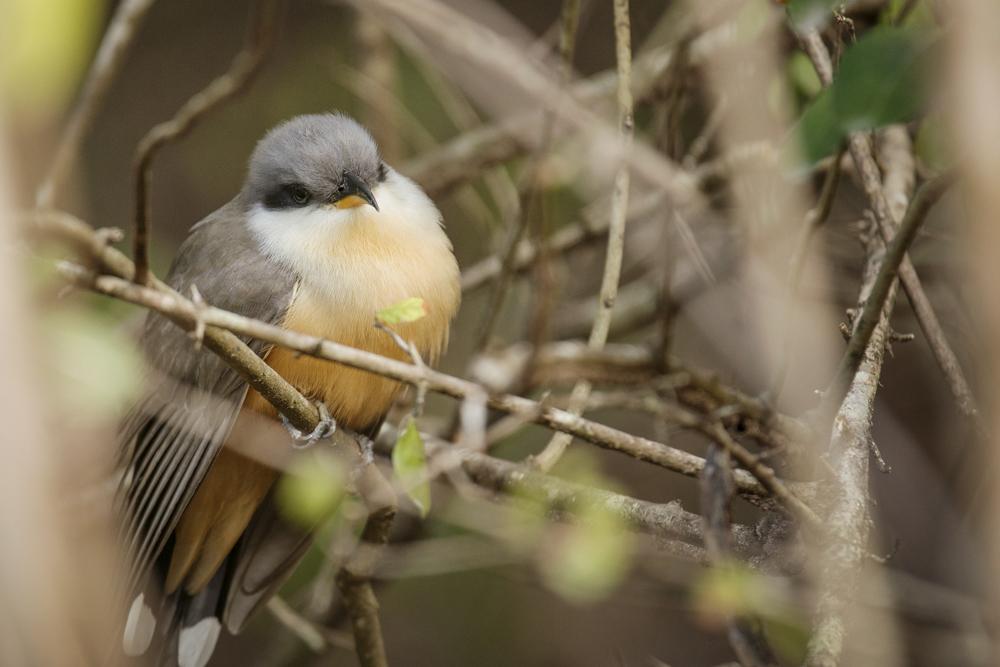 Mangrove cuckoo, a shy bird that likes the deep scrub.