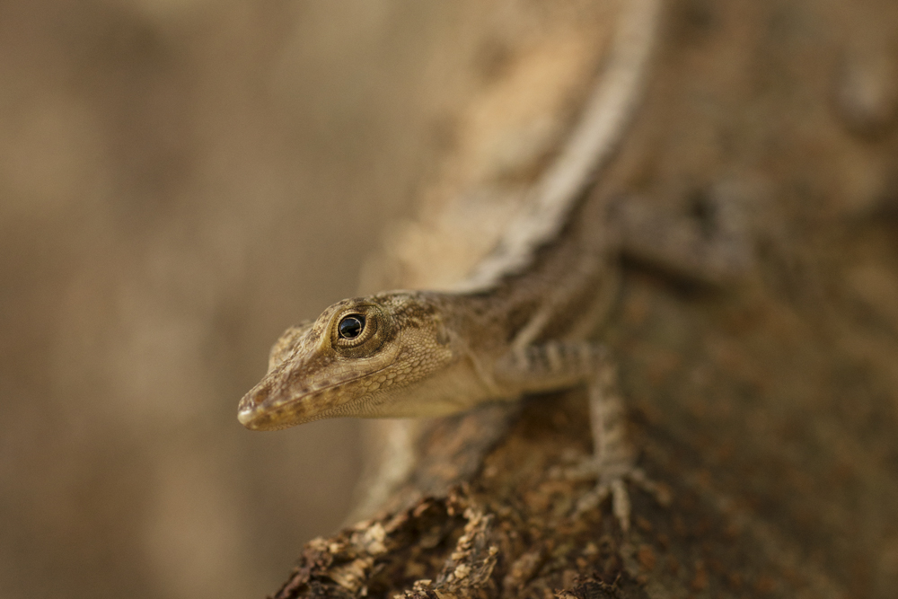 Saint Lucia Anole - a small endemic tree lizard which varies in colour, depending on its environment.