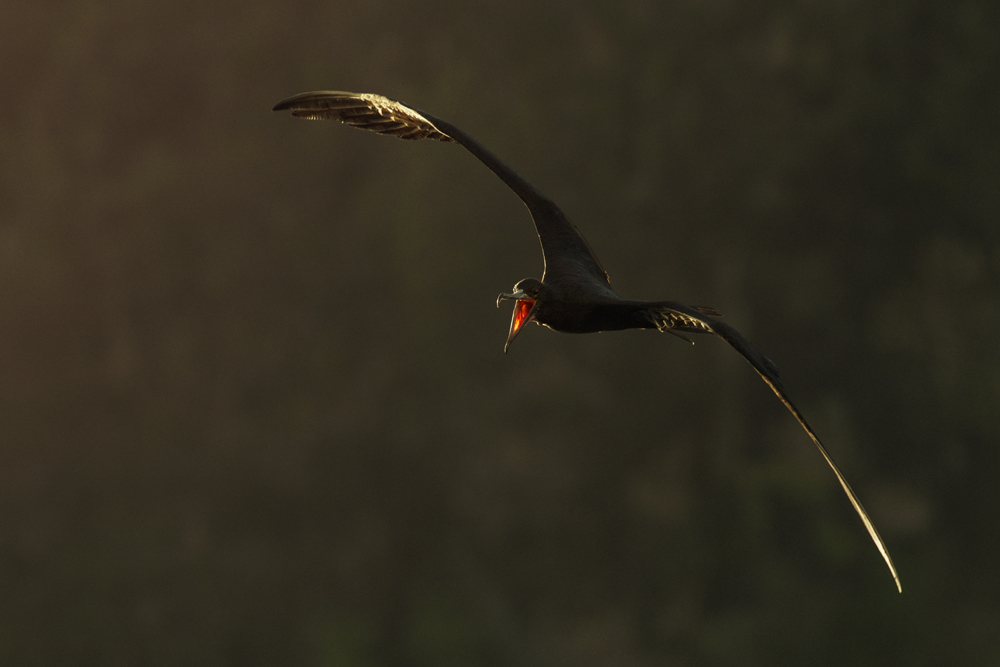 Magnificent frigatebird in flight, with sun shining through its gular skin.