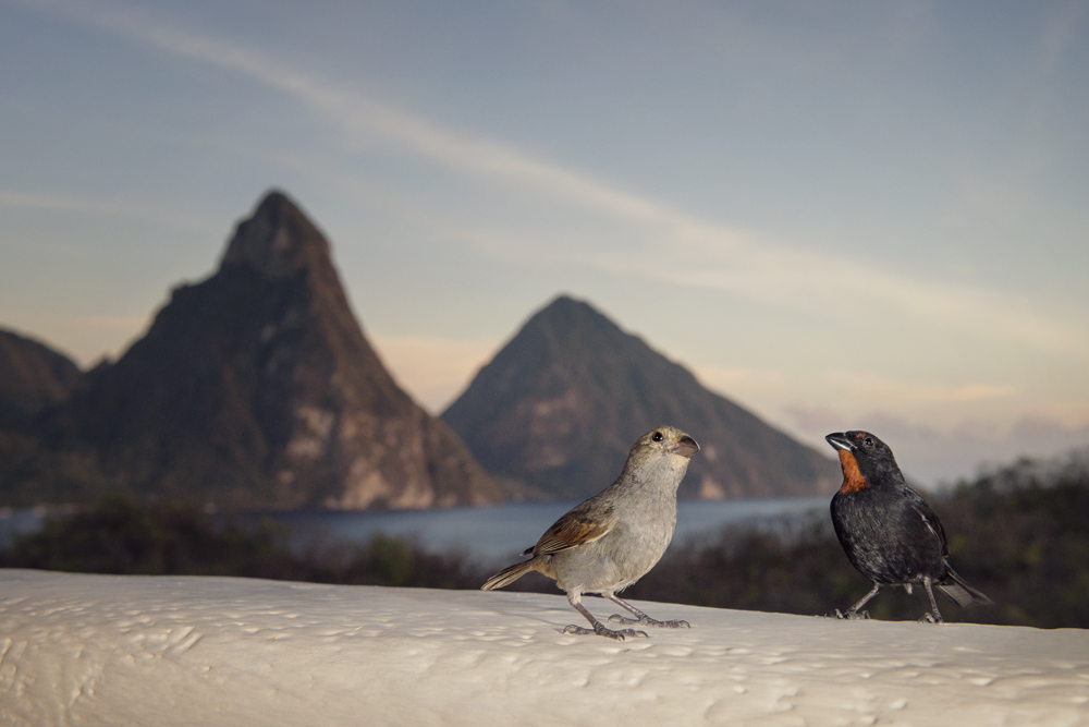 A pair of lesser antillean bullfinches with the Piton mountains in the background.