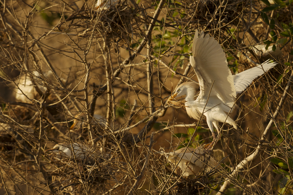 Cattle egret nest-building.