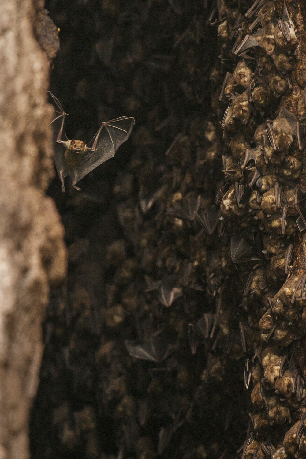 Antillean fruit-eating bats at their cave roost in Soufrière.