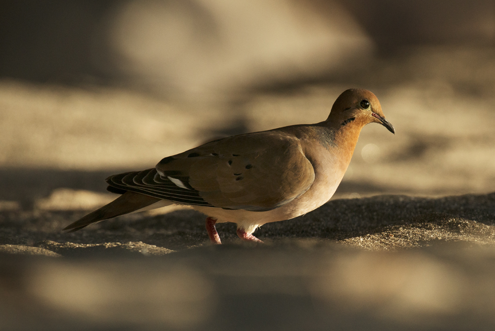 Zenaida dove on Anse Mamin beach.