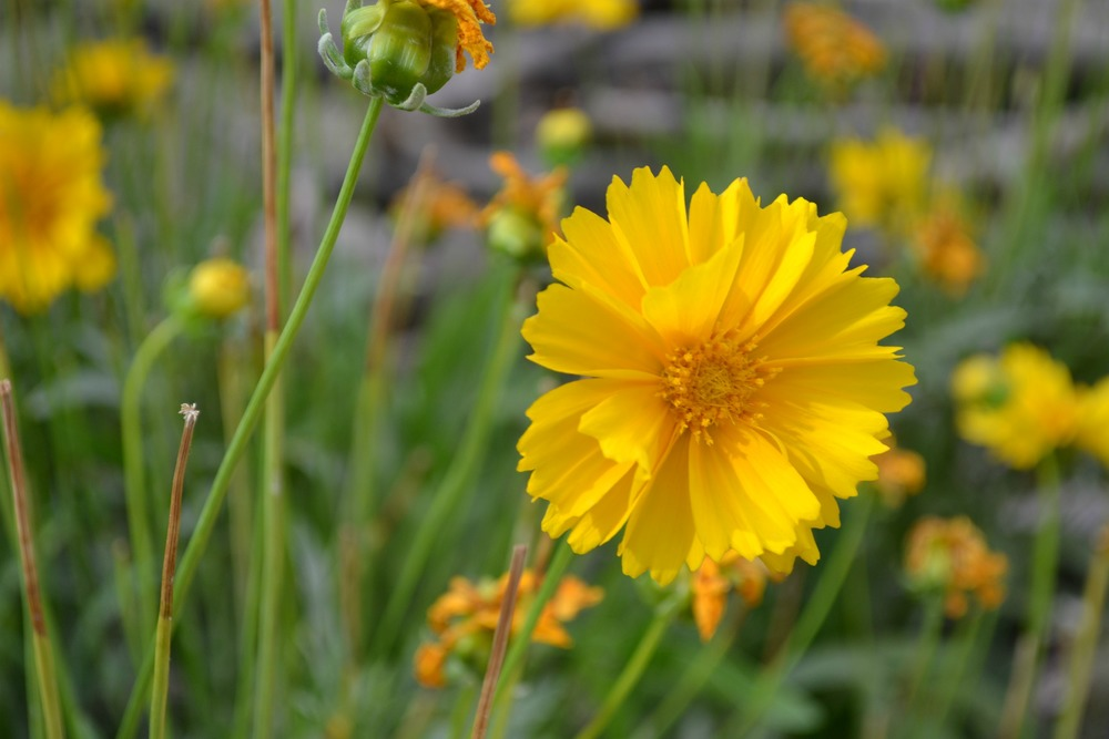 coreopsisflower
