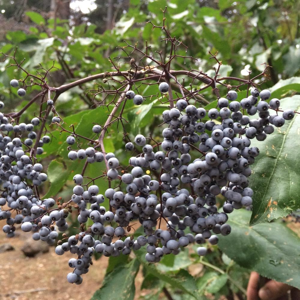 Blue Elderberry (Sambucus Cerulea)