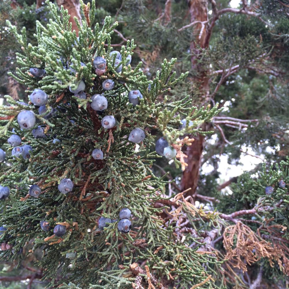 Western Juniper (Juniperus Occidentalis)