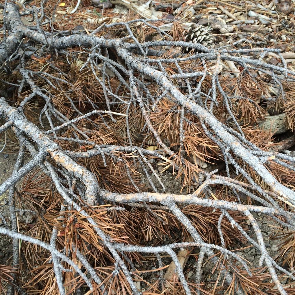 Lodgepole Pine (Pinus Contorta)