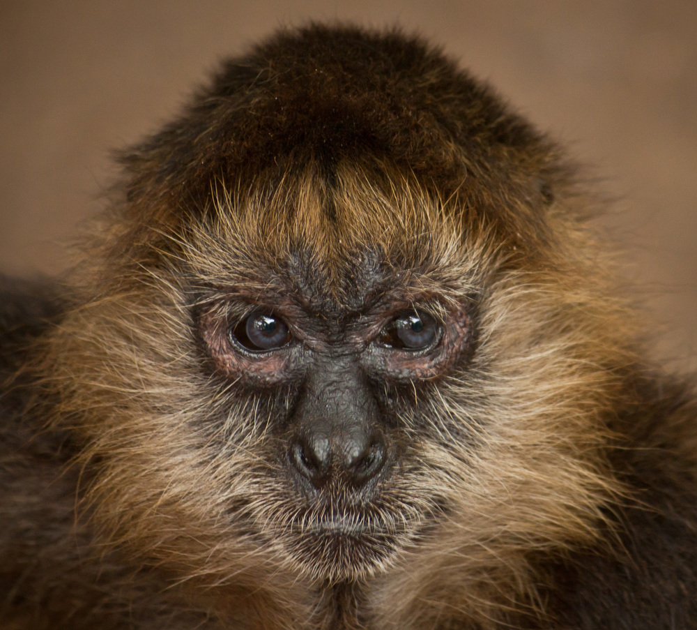 Portrait of a Spider Monkey