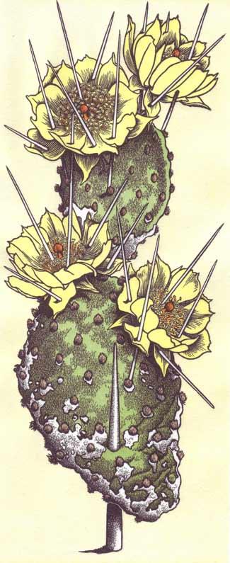 44--Opuntia-polyacantha.jpg