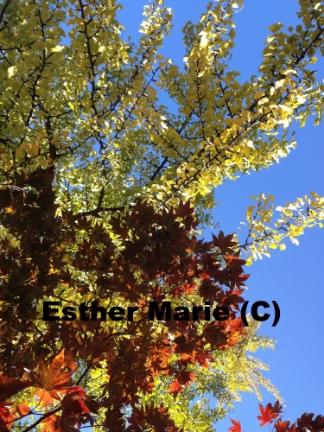 "Yellow Gilko, Red Maple 3, 11"" X 8.5"" Digital Photograph"