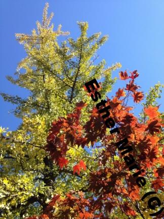 "Yellow Gilko, Red Maple #5 11"" X 8.5"" Digital Photograph"