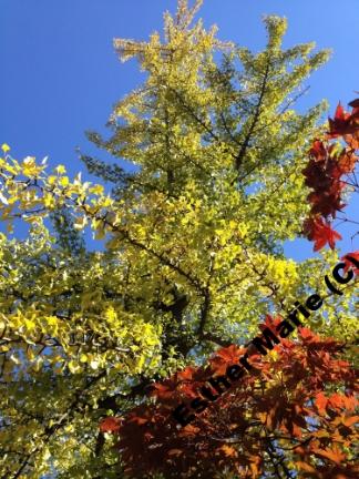 "Yellow Gilko, Red Maple #6 11"" X 8.5"" Digital Photograph"