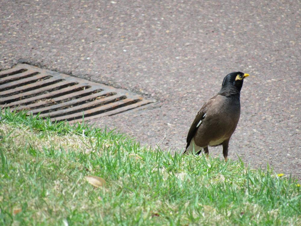 Myna bird. Nice to meet you.