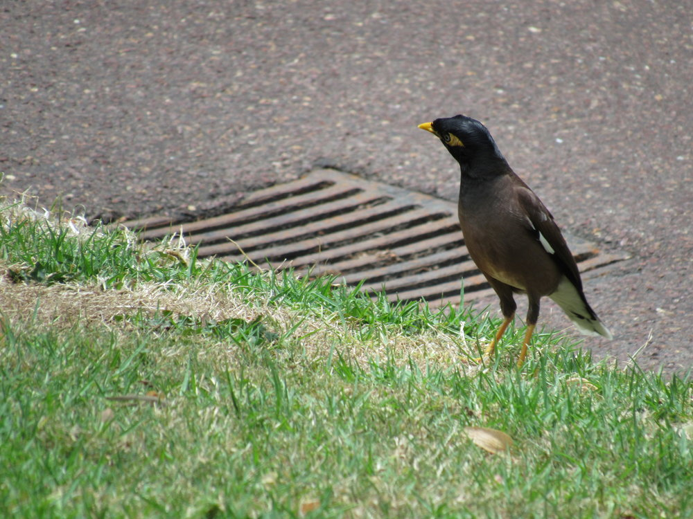Myna bird. Nice to meet you.