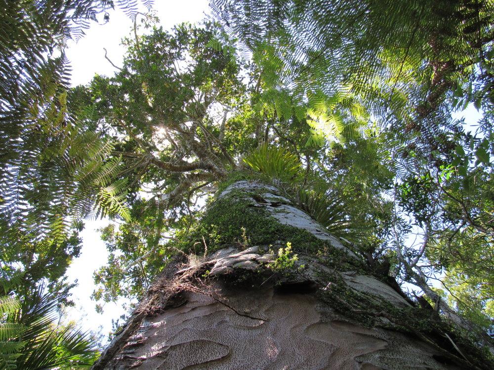kauri tree2.jpg