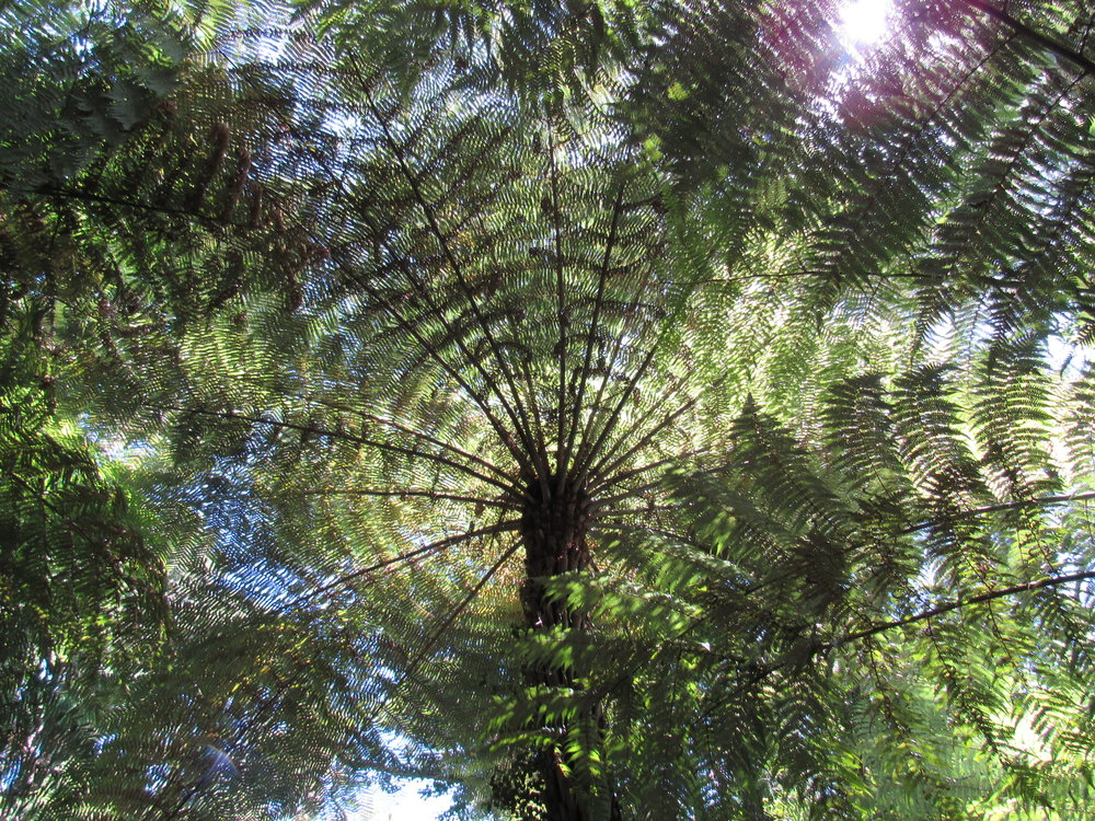 Looking upward through the fronds of a silver fern. They were used by Maori to mark trails, their undersides almost bioluminescent in the moon's light.