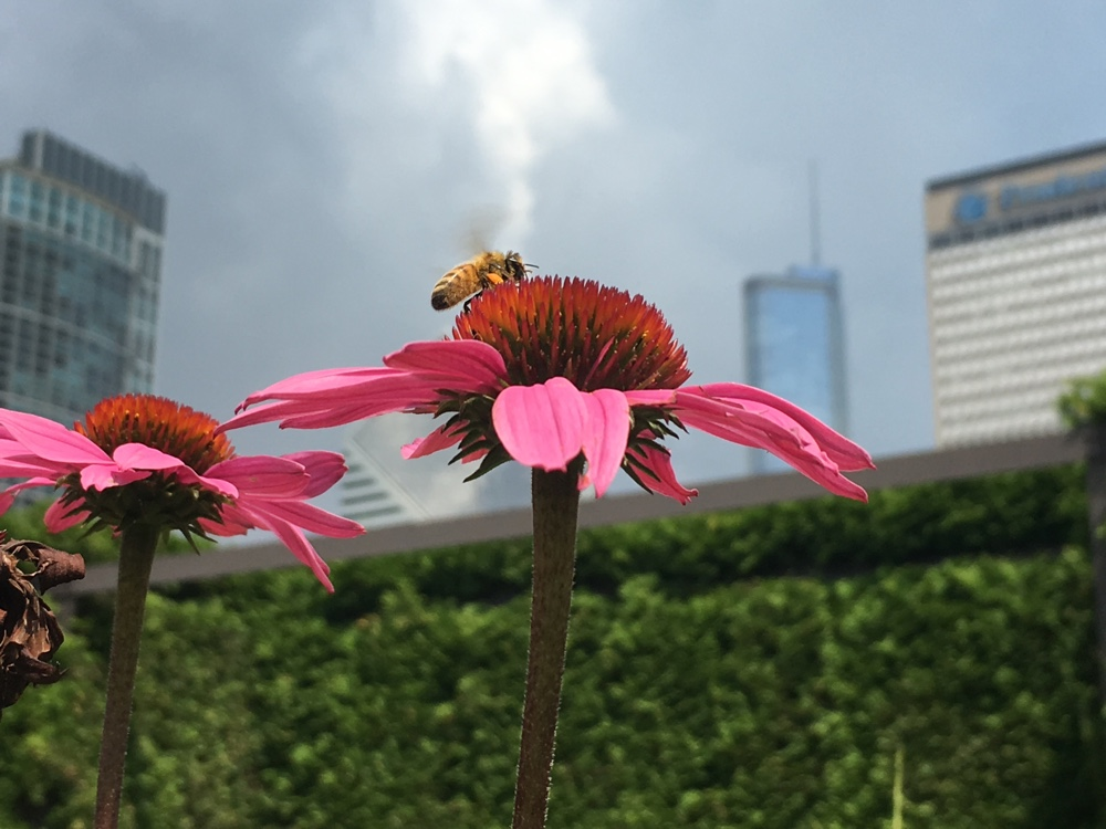 Photo of bee on a flower with the Chicago skyline in the background