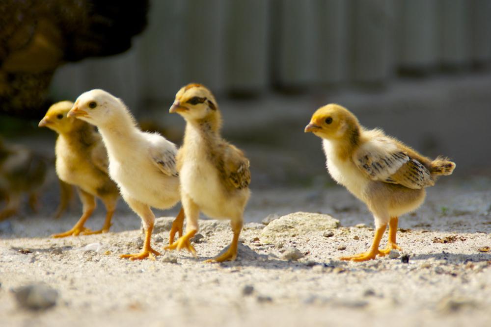 25 chicks 2.jpg
