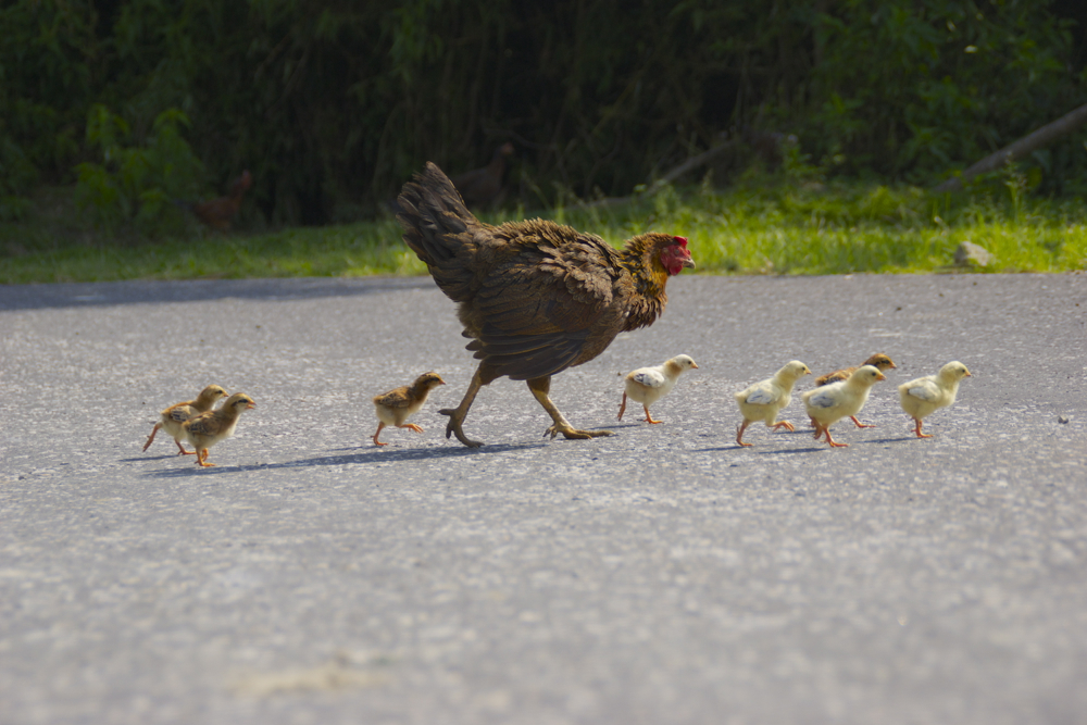 6 chicken crossing.jpg