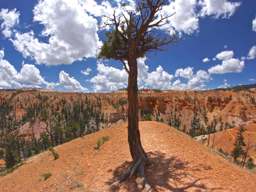 Bryce tree smaller.jpg