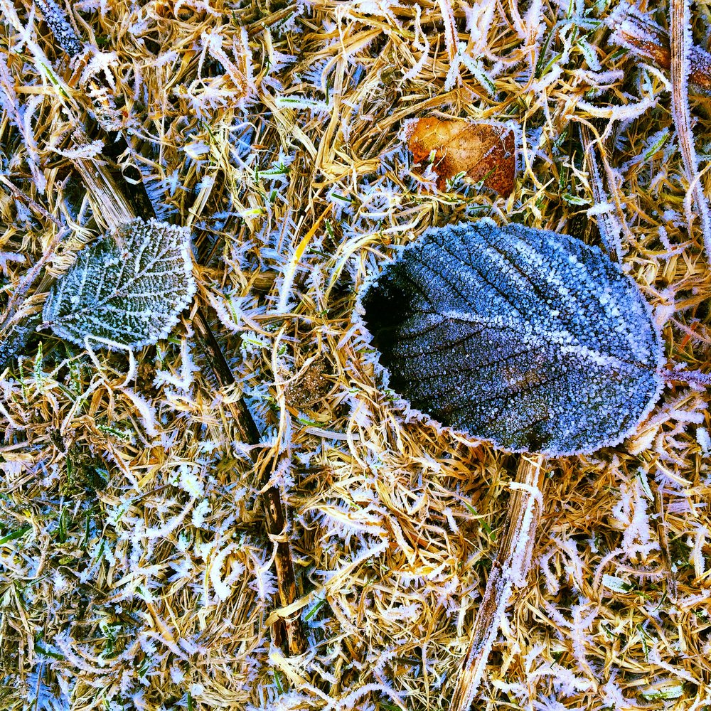 Frozen Blackberry Leaves