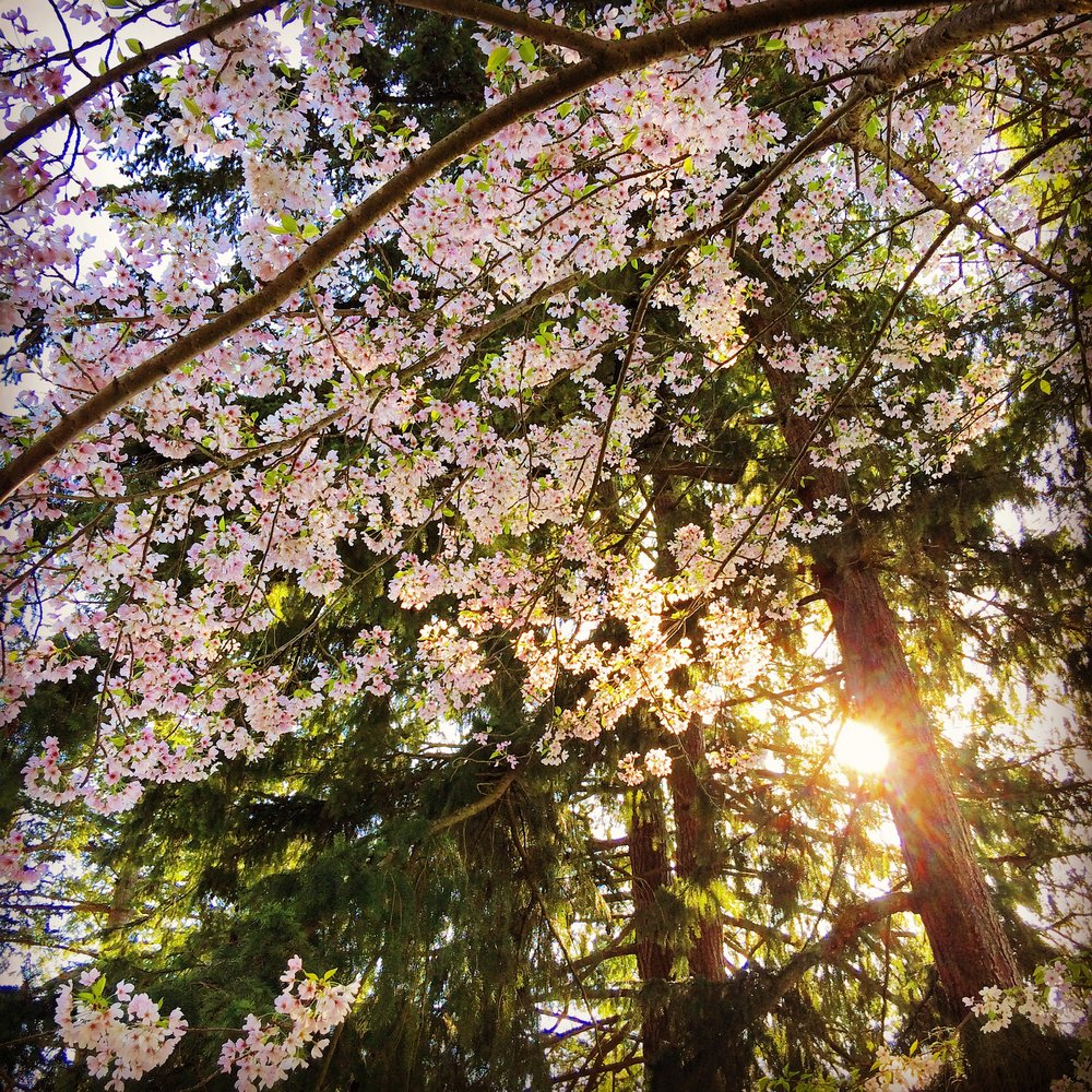 Cherry Blossoms, Seward Park