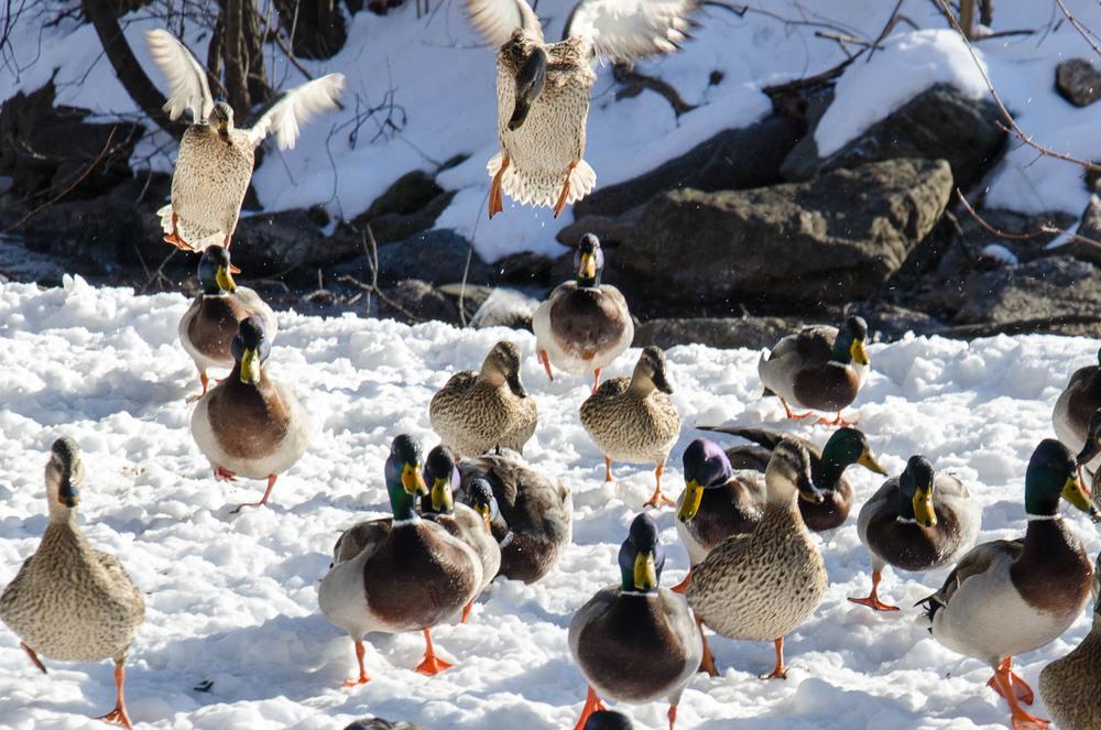 Ducks in Baker Park