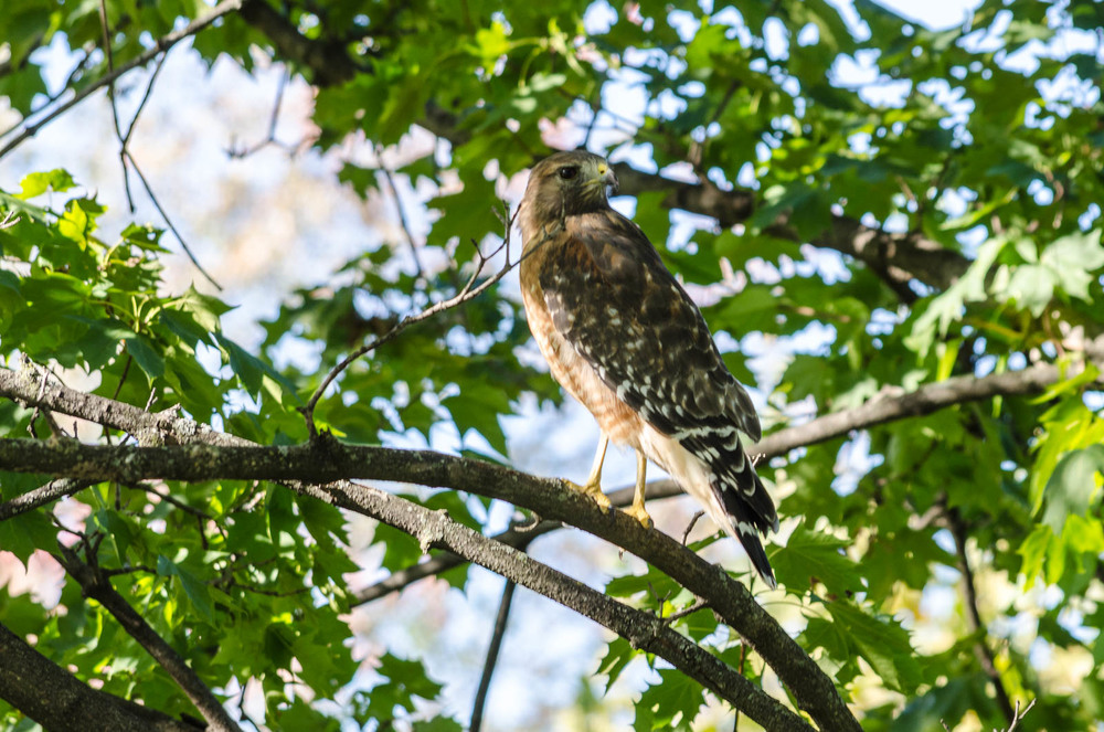 A small hawk perches in Baker Park in Frederick, MD.