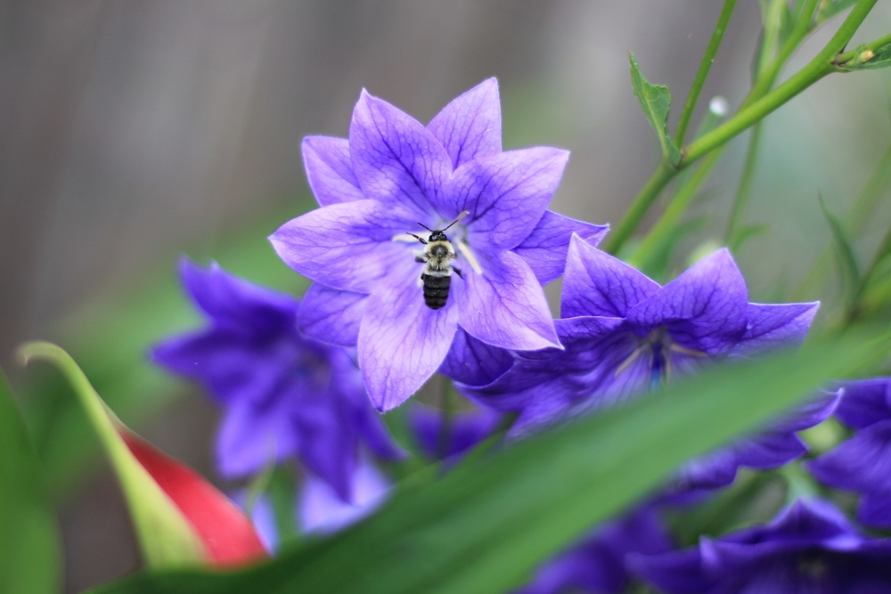 Balloon Flower & the bee